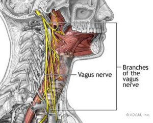 picture of the vagus nerve