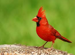 Picture of a cardinal